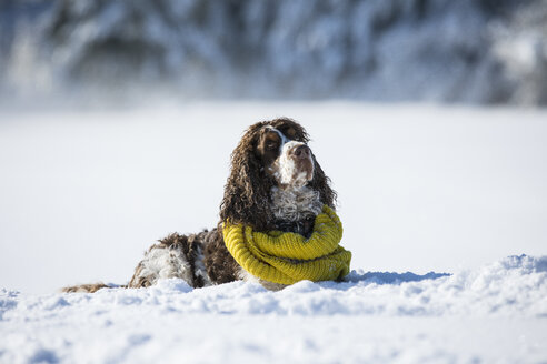 English Springer Spaniel wearing yellow scarf lying on snow-covered meadow - MAEF12788