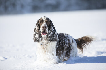 Portrait of English Springer Spaniel on snow-covered meadow - MAEF12794