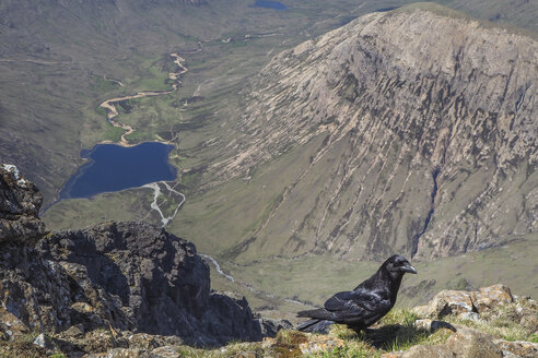 United Kingdom, Scotland, Isle of Skye, Bla Bheinn to Glen Sligachan, raven in the foreground - HUSF00005