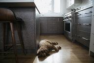 Tired dog sleeping on kitchen hardwood floor - HEROF17766