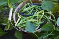 Fresh runner beans in bushel in vegetable garden - HEROF18643