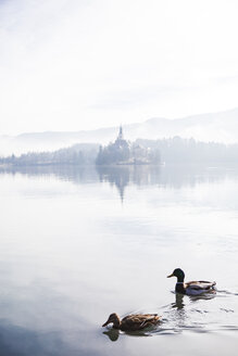 Slovenia, Gorenjska, Bled, couple of Mallard ducks swimming on Bled lake with Bled island behind on a foggy winter morning - FLMF00133