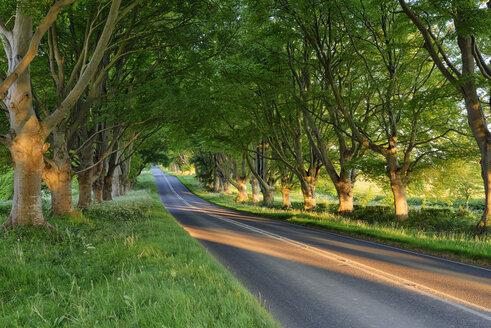 Tree lined road near Wimborne, Dorset, England, UK - RUEF02074