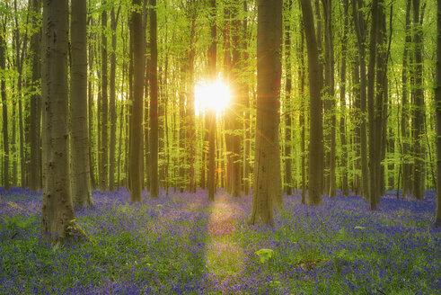 Bluebell flowers in a hardwood forest in early spring, Hallerbos,  Flanders, Belgium - RUEF02083