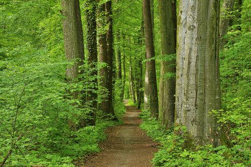 Footpath through forest in spring, Bavaria, Germany - RUEF02086