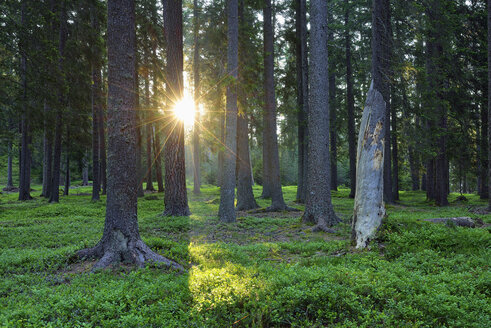 Sun with sunbeams in a forest in the morning,  Dolomites, Trentino, Italy - RUEF02092