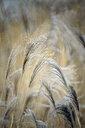 Reeds - DSGF01809