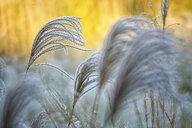 Reeds - DSGF01815
