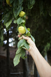 Italy, Sicily, apricots on a tree, unripe - MAMF00388