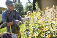 Senior man gardening, pruning flowers in sunny backyard garden - HEROF20137
