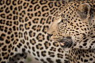 A leopard's head, Panthera pardus, looking away over shoulder, mouth open, rosettes on fur coat, white whiskers - MINF10390