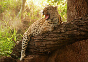 A leopard, Panthera pardus, hugs a fallen over tree branch, snarls and looking away, open mouth, sunlight and greenery in background - MINF10393