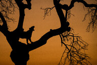 A silhouette of a leopard, Panthera pardus, standing in the fork of a tree, yawning showing teeth, against orange sunset sky - MINF10396