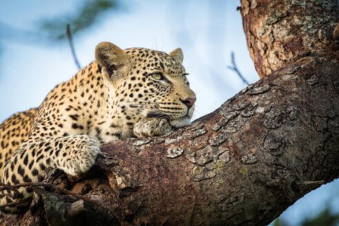 A leopard's head and front paws, Panthera pardus, lies on a tree branch, rests on front paw, looking away - MINF10402