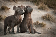 Two spotted hyena cubs, Crocuta crocuta, one sitting, one standing, looking away, at den site, black coats - MINF10405