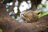 A leopard cub's head, Panthera pardus, lies in the sand, head tilted, alert, brown yellow eyes - MINF10408