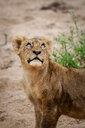 A lion cub, Panthera leo, stands in sand, looking up out of frame, glossy eyes - MINF10414