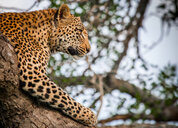 A leopard's head and front leg, Panthera pardus, lying in a tree, head up, looking away - MINF10420