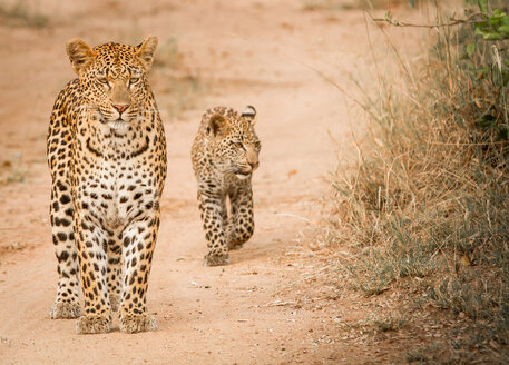 A mother leopard, Panthera pardus, stands on sand ground, cub follows behind her, looking away - MINF10423