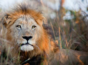The head of a male lion, Panthera leo, alert, lying down - MINF10432