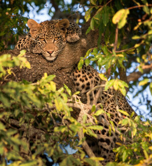A leopard, Panthera pardus, lies in a tree, front paws flank hits head, alert, leaves in foreground - MINF10438