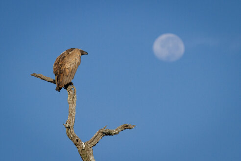 A white-backed vulture, Gyps africanus, perches on a dead branch, looking away, blue sky background - MINF10450