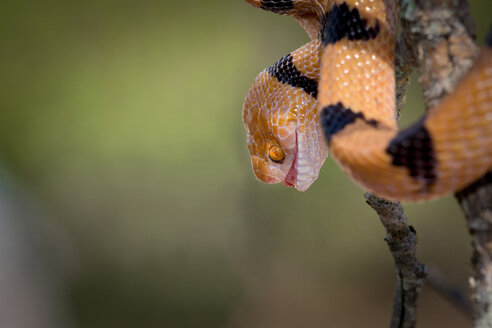 The head and body of a common tiger snake, Telescopus semiannulatus, mouth open, yellow orange eyes, coiled on a branch - MINF10474