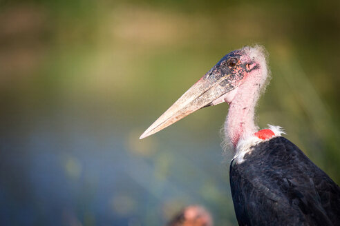 A side profile of a Marabou stork, Leptoptilos crumenifer, pink head - MINF10477