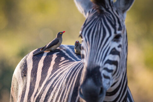 A zebra, Equus quagga, stands with red-billed oxpeckers sitting on its back, Buphagus erythrorhynchus - MINF10483