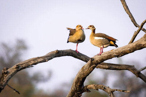 Two Egyptian geese, Alopochen aegyptiaca, perch in a dead tree - MINF10486