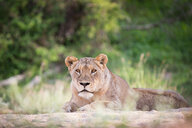 A lioness, Panthera leo, lies on sand, head up, alert, greenery in background - MINF10495