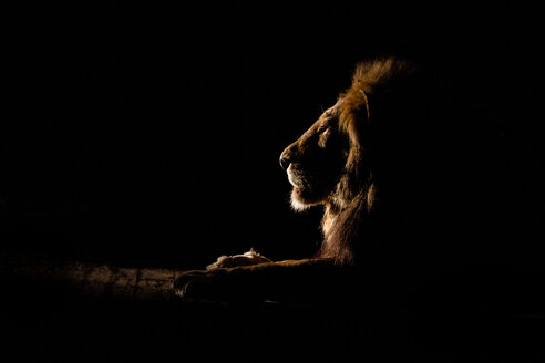 The side profile of a male lion lying down, Panthera leo, at night, lit up by spotlight, looking away - MINF10498