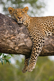 A leopard, Panthera pardus, lies on the branch of a tree, legs tangling over the branch, alert, ears forward, head resting on branch - MINF10501