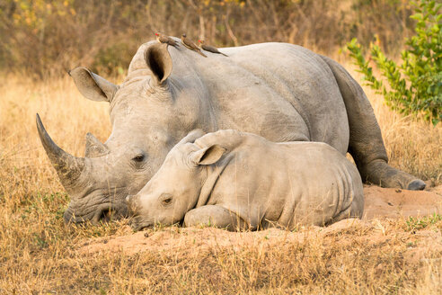 A rhino mother and calf, Ceratotherium simum, lie side by side, red-billed oxpeckers, Buphagus erythrorhynchus, perch on the rhino. - MINF10528
