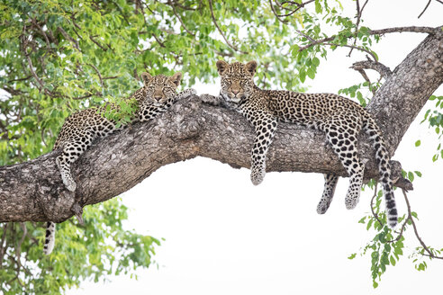 Two leopard cubs, Panthera pardus, lie on a marula tree, Sclerocarya birrea, alert, with their legs draped over the branch. - MINF10558