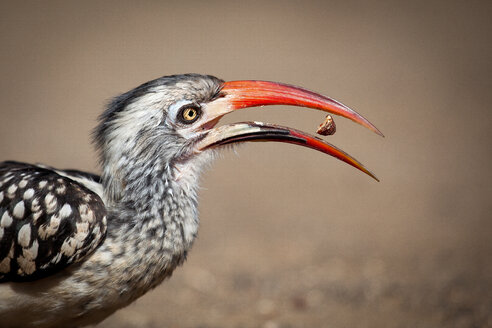 Side profile of a southern red-billed hornbill, Tockus rufirostris, beak open with seed between, looking away - MINF10567