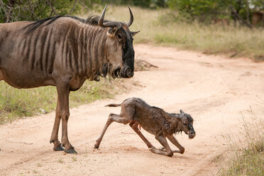 A mother wildebeest, Connochaetes taurinus, stands above her newly born calf who kneels on the road, looking away - MINF10576