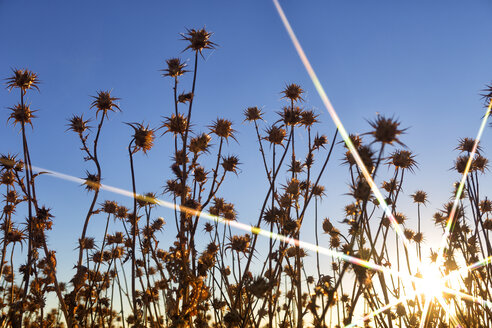 Spain, thistles and buds growing in field at sunrise - DSGF01832