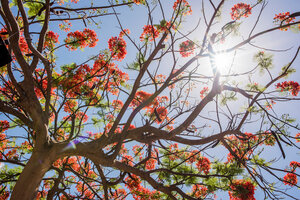 Red flowering tree, Honolulu, Oahu, Hawaii - CUF49040