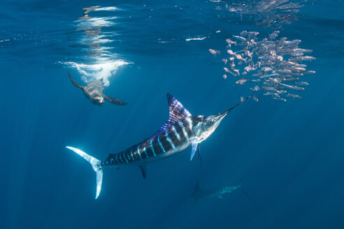 Striped marlin hunting mackerel and sardines, joined by sea lion - CUF49175
