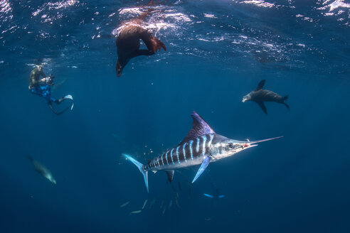 Striped marlin hunting mackerel and sardines, joined by sea lions, photographed by diver - CUF49178