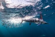 Striped marlin hunting mackerel and sardines - CUF49181