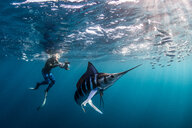 Striped marlin hunting mackerel and sardines, photographed by diver - CUF49184