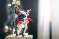Young French Bulldog wearing red bow for Christmas - ISF20598