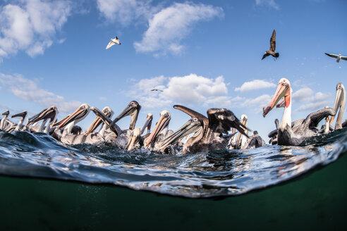 Flocks of brown pelicans feeding on fisherman's scraps - ISF20604