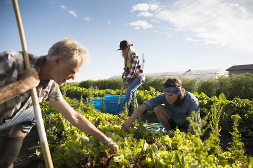 Farmers working in vegetable crop on sunny farm - HEROF20714