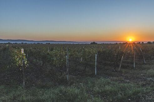 Georgia, Kakheti, vineyard at sunset - KEBF01142