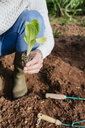 Man planting lettuce seedlings in vegetable garden - GEMF02765