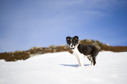Scotland, Genshee, Border Collie puppy in snow - MJOF01675
