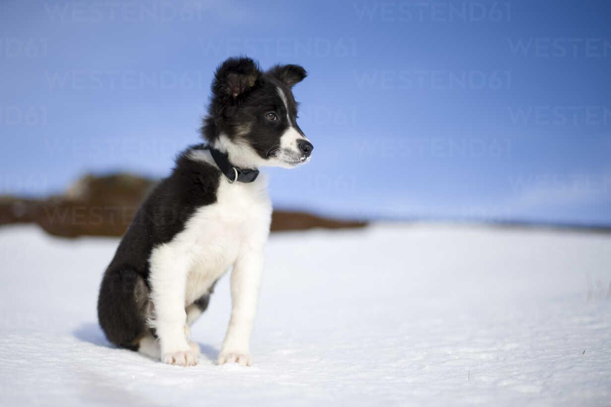 Scotland Genshee Portrait Of Border Collie Puppy In Snow Mjof01678 Mark Johnson Westend61
